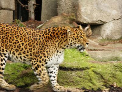 Leopardo-no-Jardin-des-Plantes_Tanya Volpe