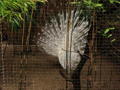 Pavão-branco-no-Jardin-des-Plantes, de Tanya Volpe